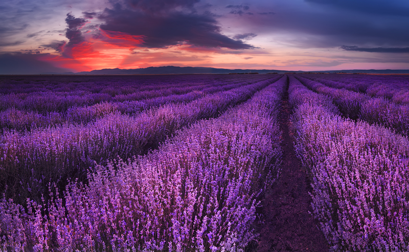 field of lavender plants during a cloudy dusk